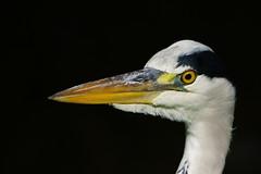 DSC01553 -  Grey Heron (steve R J) Tags: park portrait london heron birds grey explore british regents