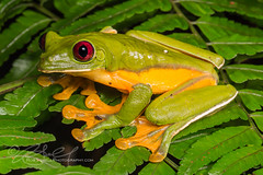 Agalychnis spurrelli (Rob Schell Photography) Tags: fern male rainforest costarica adult amphibian frog centralamerica insitu guayacan anura hylidae anuran agalychnisspurrelli crarc iucnleastconcern costaricanamphibianresearchcenter glidingleaffrog limonprovence