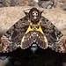 Acherontia lachesis (Fabricius, 1798) Death's-head Hawk Moth