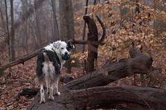 You coming, Grace? (c.r.borders) Tags: trees winter dogs rain fog forest aussie australianshepherd packwalk greyskyday