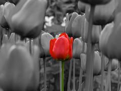 Tulips (Fin.travel) Tags: blackandwhite blackwhite selective topaz selectivecolor selectivecolour topazremask