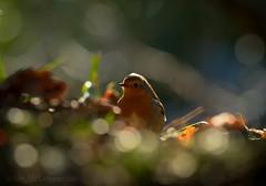 Bokeh & Robin (IanMcConnachie) Tags: moon robin birds canon branch bokeh wildlife boka wildlifephotography beautifulbokeh robinhoodsstride woodlandbird winterrobin britishrobin canon7dmkii ef300mmf28lisiiusm ianmcconnachie wildbirdfeeding bokehrobin