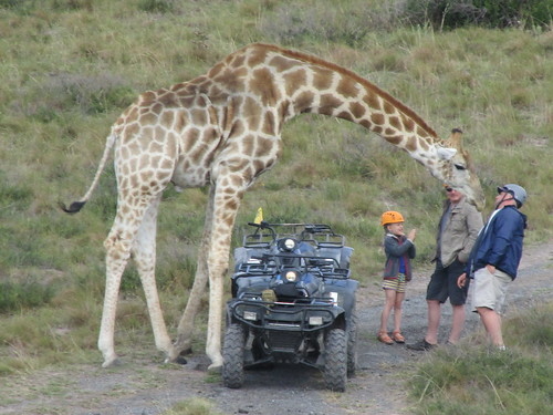 The friendly giraffe, Afrique du Sud