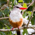 Greyhooded Kingfisher