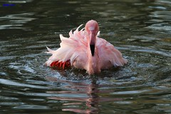 001 flamingo washing (modekopp i am some time on photo hunting) Tags: untitled pikture foto amazingpictures amazingshots photographer flamingo wasser water bird vogel fotografie photographs photography photo amazinganimal amazinganimals colorfulnature canoneos70d 70danimals tierparkaachen schnappschuss shot animalphotograph tierfotografie amazinganimalphoto