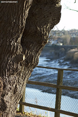 The river Usk and a tree on the Caerleon cycle path