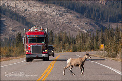 Bighorn Sheep on road, Jasper National Park (Alberta) (Anna & Oskar) Tags: travel viaje lake canada reflection water canon landscape lago waterfall agua can falls alberta reflejo lanscape jaspernationalpark canadianrockies devona 1dx montaasrocosas 5dmarkii