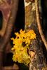 Tremella mesenterica - Golden Jelly Fungus (Stéphane De Greef - www.stephanedegreef.com) Tags: asia cambodia fungi giz basidiomycota tremellamesenterica bioblitz witchesbutter tremellaceae tremellales yellowbrain siemreapprovince biodiversitysurvey goldenjellyfungus tremellasp tremellomycetes yellowtrembler banteaysreidistrict preikbalteukcommunityforestry tbenglechvillage vicheasok swampscrubland