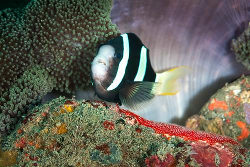 Clownfish (Pantar Island, Alor)