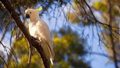 squawk (Bec .) Tags: white tree bird yellow fauna canon beak feathers adelaide bec success southaustralia squawk sulfurcrestedcockatoo rivertorrens 450d 55250mm