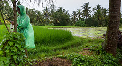 Ricefields, Ubud - Bali (sparqx) Tags: bali green wet rain canon indonesia fishing asia seasia southeastasia cloudy palmtree tropical ricefield raincoat 1022mm tropics ricepaddy ubud paddyfield paddies balinese plasticraincoat greenraincoat waynewilliams eos7d sparqx