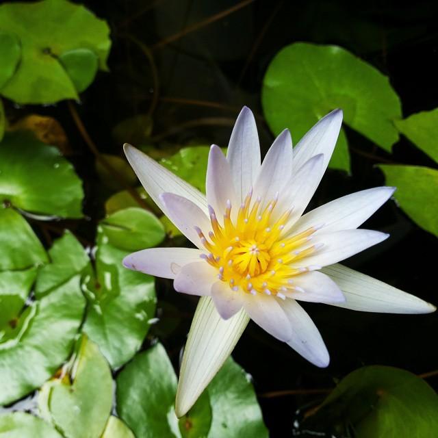 Accidentally in love with this lotus, Hasil eksplor kota surabaya dengan bersepeda, menemukan teratai kecil ini di halaman house of sampoerna :) #lotus #nofilter #instagram #instatravel #flowers #padma #jelajahikotamu