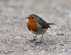 Robin Erithacus rubecula 0021 (cwoodend..........Thanks) Tags: robin erithacusrubecula brandon wwt 2014 brandonmarsh warwickshirewildlifetrust