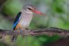 Grey-headed kingfisher (arfromqatar) Tags: birds canon oman doha qatar arfromqatar qatar2022 abdulrahmanalkhulaifi