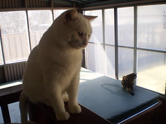 Mystic and Autumn (universalcatfanatic) Tags: autumn windows 2 two orange cats white 3 black hot tree window yard cat fence three back backyard sitting seasons top room screen tortoiseshell plastic cover tub hottub sit calico railing mystic screens hotub