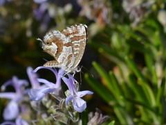 Cacyreus marshalli (Hachimaki123) Tags: animal butterfly insect mariposa insecto cacyreusmarshalli