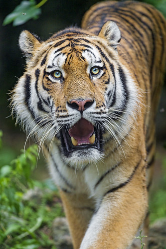 Male Siberian tiger walking with open mo by Tambako the Jaguar, on Flickr