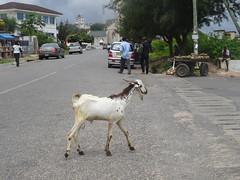 (hanna.ghana2014) Tags: street goat ghana sit capecoast