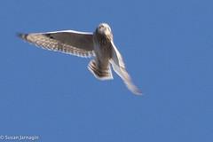 Short-eared owl (Asio flammeus) (Susan Jarnagin) Tags: bird nj owl shortearedowl burlingtoncounty amicoisland