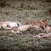 Pride of Lions - Mara Kenya