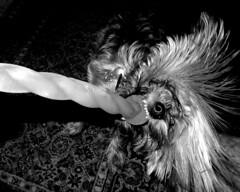 GR0003814 (Paradise.Found) Tags: light shadow blackandwhite bw dog texture yorkie strange mouth dark fur photography photo funny pattern play teeth flash 28mm tags terrier twirl rug collar equivalent ricoh ricohgr plastictoy momochrome chewedup