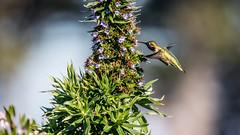 Anna's hummingbird... (Prince Bart) Tags: sanfrancisco california usa birds digital canon eos parks bayarea fortmason dslr annashummingbird trochiliformes birdsofnortherncalifornia goldengatenationalseashore 7dmarkii eos7dmarkii