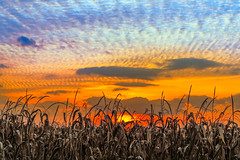 Indiana Sundown (Kenneth Keifer) Tags: blue autumn sunset red sky orange usa brown sun color fall silhouette yellow sepia clouds rural america landscape evening countryside amazing corn cornfield midwest colorful sundown farm vibrant horizon farming grain cereal harvest vivid indiana glorious stunning cornstalks crops agriculture setting maize brilliant silhouetted stalks tassels