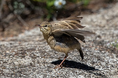 Twany Pipit (Simon Stobart (trying to catch up)) Tags: wing cleaning washing fluttering pipit twany