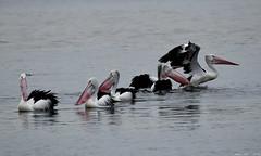 Pelican action! (Merrillie) Tags: sea nature water animals fauna bay nikon scenery waterfront wildlife australia pelican views nsw brisbanewater woywoy d5500 nswcentralcoast centralcoastnsw