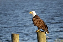 American Bald Eagle (Adult) (Gary Helm) Tags: county camera usa bird nature water animal work canon outside fly us wings adult image eagle florida outdoor wildlife flight baldeagle feathers powershot photograph perch perched birdofprey americanbaldeagle talons floridawildlife osceolacounty lakekissimmee joeoverstreet sx50hs ghelm4747 garyhelm