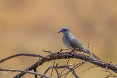Diamond Dove (R. Francis) Tags: qld queensland duchess diamonddove geopeliacuneata tickhill northwestqueensland ryanfrancis ryanfrancisphotography