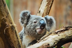 """Oobi-Ooobi"" - the Koala (Photography by Eric Hentze) Tags: bear color nature animal germany mammal deutschland zoo nikon outdoor natur leipzig koala marsupial animalplanet animale tier koalabear 2016 animalphotography tierfotografie sugetier zooleipzig tiefenschrfe beuteltier d7100 nikond7100 oobiooobi erichentze"