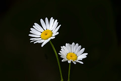 Two Daisies 2016 01 (Jim Dollar) Tags: sc daisies southcarolina springflowers indianland jimdollar blendedphotograph