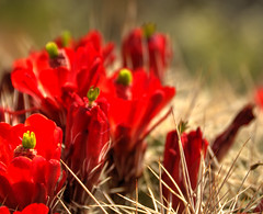 NP desert cacti buds (maryannenelson) Tags: flowers red plant cacti outdoors utah nationalpark spring bright blossoms depthoffield canyonlands buds photochallenge2016
