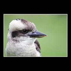 Kookaburra (KoenK68) Tags: portrait bird nature animal fauna wildlife crop kingfisher kookaburra koenk68