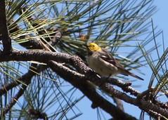 Hermit Warbler (hollykleindienst) Tags: hermit warbler