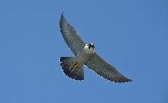 Verrazano Bridge Falcons (MTAPhotos) Tags: falcons verrazanonarrowsbridge verrazanonarrows throgsneckbridge peregrinefalcons marineparkwaygilhodgesmemorialbridge marineparkwaybridge bridgesandtunnels