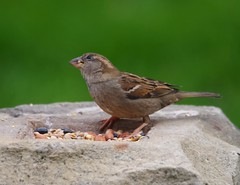 female house sparrow (4) (Simon Dell Photography) Tags: uk england simon nature birds photography pentax photos wildlife sheffield may sigma apo dell xxx dg 2016 k50 s12 hsm hackenthorpe 150500mm