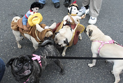 Pug Crawl in Portland, sponsored by the Oregon Humane Society. (nataliebehring.com) Tags: costumes usa dog pet pets cute dogs animal oregon portland costume funny pug canine nopeople pugs humanesociety buttsniff pugcrawl fourpugs