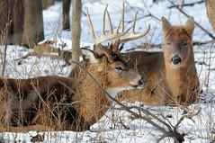 2016 Deer Bed 2 (DrLensCap) Tags: park winter white snow chicago robert nature animal mammal illinois bed village tail north center il deer buck kramer whitetail