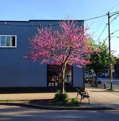 A Perfect Tree (Bhlubarber) Tags: street city urban tree mobile cherry spring mt blossom main bean neighbourhood pleasant iphone mainstvan