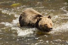 Re-crossing (ChicagoBob46) Tags: bear yellowstonenationalpark yellowstone grizzly grizz grizzlybear