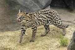 How many spots has an ocelot got? (ucumari photography) Tags: animal inca female cat mammal zoo nc north may carolina ocelot 2016 exhibitopening specanimal dsc0622 ucumriphotography