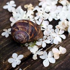 csendes tavaszi séta / a quiet walk in the spring (debreczeniemoke) Tags: flower spring walk petal escargot tavasz virág viburnumopulus ediblesnail guelderrose helixpomatia séta romansnail burgundysnail labdarózsa virágszirom éticsiga kányádisándor viburnumopulusvarroseum olympusem5 könyörgéstavasszal
