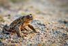 Frosch / Kroete beim Sonnenuntergang im Stadtpark (bjoern_ellebrecht) Tags: nature sonnenuntergang natur amphibian frog toad frosch norderstedt tier stadtpark frühling kröte