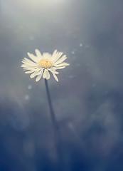 the lonely.. (jdewinnaar) Tags: light plant flower nature canon garden dark outside eos 50mm petals alone glow shine gloomy bokeh depthoffield single 5d lonely