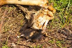 7K8A8814 (rpealit) Tags: bear nature scenery wildlife area bones hatchery pequest
