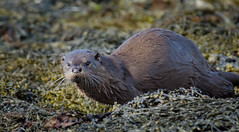 Otter (kfjmiller) Tags: sea seaweed nature water nikon wildlife coastal otter mull d7000