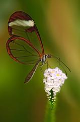 Glasswinged butterfly (Rene Mensen) Tags: orange white macro beauty butterfly insect wings nikon rene micro nikkor mariposa mensen wildlands glasswinged