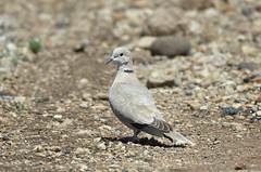 Eurasian Collared Dove (Streptopelia decaocto) DDZ_3785 (NDomer73) Tags: bird dove april sheldon collareddove eurasiancollareddove 2016 sheldonnationalwildliferefuge sheldonnwr 28april2016